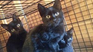 3 chatons mâles noirs à l'adoption -&gt&#x3B; Méphisto adopté