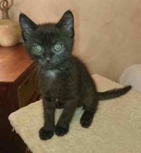 Maserati, chaton mâle noir, à l'adoption -&gt&#x3B; adopté