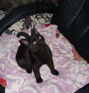Chaton mâle noir de 2/3 mois à l'adoption -&gt&#x3B; adopté