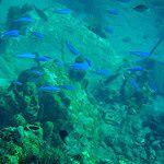 Poissons bleus près des coraux