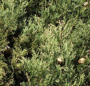 cyprès en fuseau, toujours vert