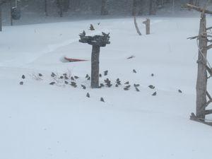 Des oiseaux sur la neige !