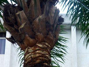 Noix de palme et palmiers de Kintambo &amp&#x3B; Mbiza #2/4
