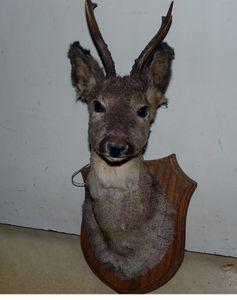 Buste d'une antilope congolaise