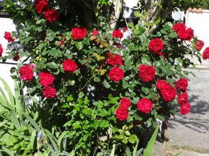 24 heures photo : Roses