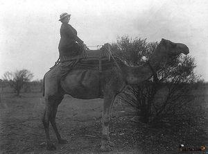 Amazone et chameau