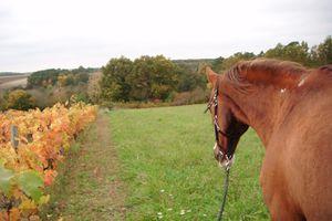 chevaux et vignes