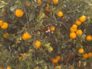 Cueillette des oranges/citrons