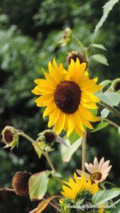 tournesol semence Les Jardins de Chanabier