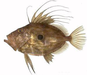 Le saint-pierre, un divin poisson ...