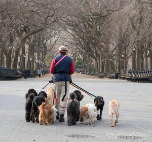 Dog-sitter en promenade à Central Park