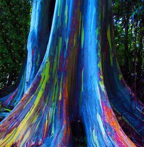 Hawaii: l' albero dell' eucalipto arcobaleno