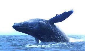 Observation des baleines - Un produit touristique à Taolagnaro
