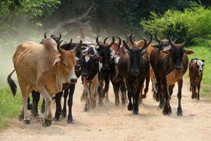 Comment Mahaka se procura des boeufs pour les funérailles de sa mère.