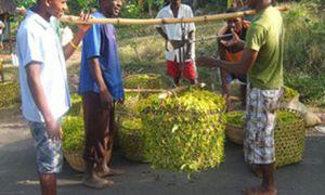 SPPM : Partenariat avec 250 planteurs d'ylang-ylang