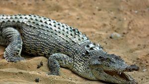 Attaques de crocodile dans le Nord-Ouest de Madagascar