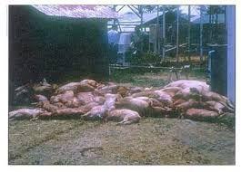 Antanambao Manampotsy – La peste porcine fait des ravages