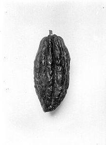 Cabosse de Cacaoyer Criollo