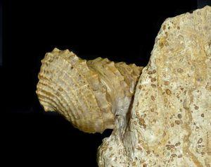 Amberleya (Eucyclus) orbignyana