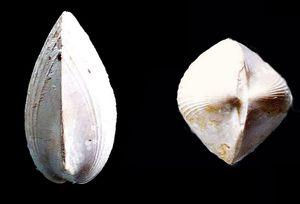 Limatula gibbosa