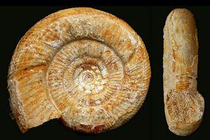 Vermisphinctes martiusii