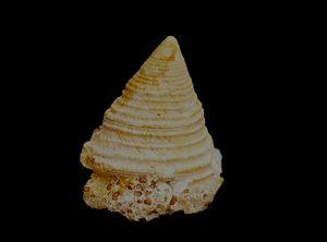 Trochus subluciensis