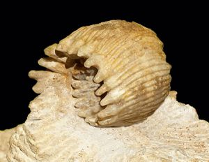 paratype n° LM-541 ma collection