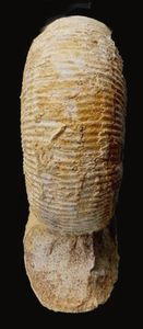 Stephanoceras pyritosum (Quenstedt 1886).