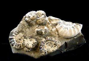 Album Ammonites Anglaise