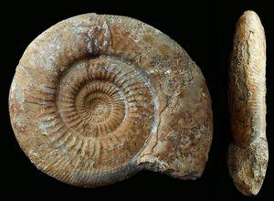 Leptosphinctes davidsoni