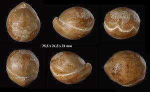 Sphaeroidothyris globisphaeroidalis, (suite).