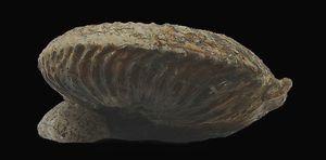 Pachycardioceras repletum