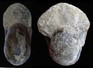 Quenstedtoceras praelamberti (morphe épais).