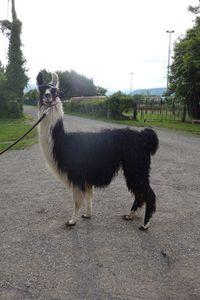 Education et mise en confiance d'un lama.