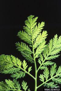 Artemisia et cancer