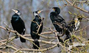 Fin des tirs de régulation des grands Cormorans !