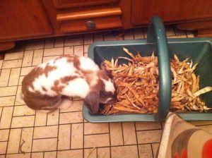 Pimpin, le Lapin Charmant de Bunny