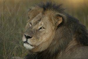Cecil Factor aids wildlife protection...