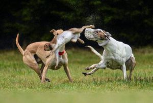 "A scene from the ""Irish Cup"" hare coursing event (2014)"