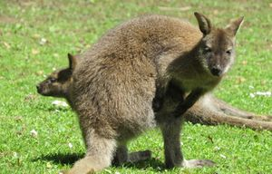 Des kangourous sauvages en forêt de Rambouillet !