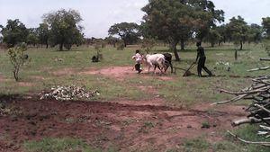 Labour du champ de la ferme pédagogique agropastorale Wurodinisso le 24 et 25 Juin 2016
