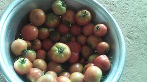 La production maraîchère de tomates près du marigot se présente bien