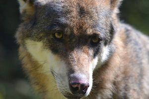Regard de loup...