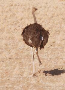 Une autruche femelle.