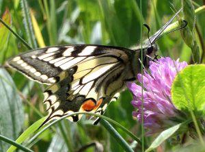 Papillon Machaon (Papilio machaon Linnaeus), Dijon, 16/05/2015