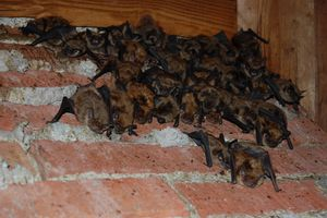 Eliminating Bats From Your Home - Bat Removal Tips