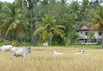 La douce ruralité cambodgienne à Daem Po