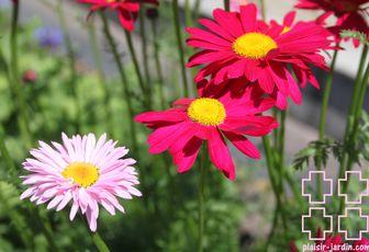 Les Tanacetums coccineum robinson's pink et red
