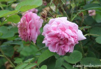 Rosa x centifolia 'Maxima' = 'major'