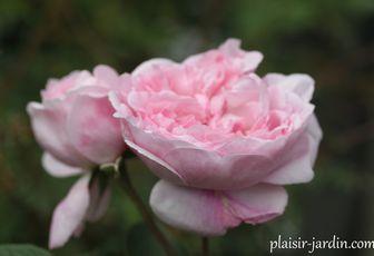 Le rosier Fantin Latour
